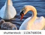 swans family floating on the...   Shutterstock . vector #1136768036