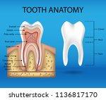 tooth anatomy infographics.... | Shutterstock .eps vector #1136817170