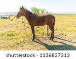 dirty  neglected wild horse...   Shutterstock . vector #1136827313