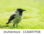 black crow walks on green lawn... | Shutterstock . vector #1136847938