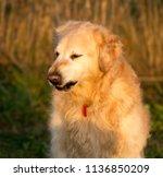 golden retrievers dog portrait... | Shutterstock . vector #1136850209