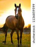 horse in the sundown light....   Shutterstock . vector #1136859599