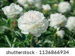 White Flower Peony Flowering O...