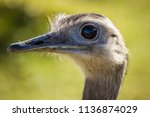 Ostrich Closeup Portrait