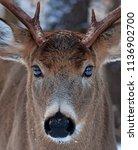 White Tailed Deer Buck Close U...