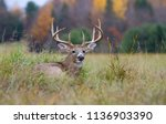white tailed deer buck walking... | Shutterstock . vector #1136903390