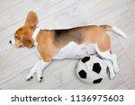 sleeping beagle dog. dog lying...   Shutterstock . vector #1136975603