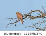 common kestrel  falco... | Shutterstock . vector #1136981540
