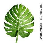 monstera deliciosa or swiss... | Shutterstock . vector #1137089183