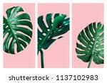 monstera deliciosa or swiss...   Shutterstock . vector #1137102983