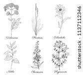 clover  blossom shamrock wild... | Shutterstock .eps vector #1137112346