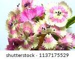 carnation flowers close up. | Shutterstock . vector #1137175529