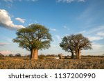 camping at baines baobab in... | Shutterstock . vector #1137200990