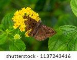 Horace's Duskywing Butterfly ...
