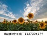 majestic sunset on agricultural ... | Shutterstock . vector #1137306179