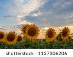majestic sunset on agricultural ... | Shutterstock . vector #1137306206