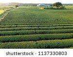 green tea farm | Shutterstock . vector #1137330803