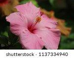 beautiful hibiscus blooms | Shutterstock . vector #1137334940