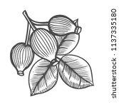 dog rose  sketch vintage... | Shutterstock .eps vector #1137335180