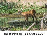 marsh deer  pantanal brazil   Shutterstock . vector #1137351128