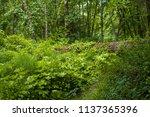 fallen tree trunk in the forest ... | Shutterstock . vector #1137365396