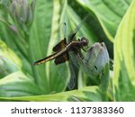A Female Widow Skimmer...