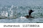 common loon or great northern... | Shutterstock . vector #1137388016