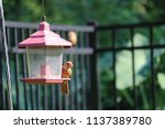 young northern cardinal... | Shutterstock . vector #1137389780
