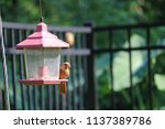 young northern cardinal... | Shutterstock . vector #1137389786
