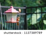 young northern cardinal... | Shutterstock . vector #1137389789