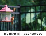 young northern cardinal... | Shutterstock . vector #1137389810
