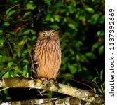 beautiful bird  buffy fish owl  ...   Shutterstock . vector #1137392669