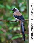 beautiful bird  grey treepie ...   Shutterstock . vector #1137392693