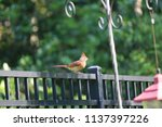 female northern cardinal... | Shutterstock . vector #1137397226