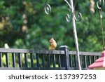 female northern cardinal... | Shutterstock . vector #1137397253