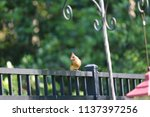 female northern cardinal... | Shutterstock . vector #1137397256