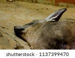 bat eared fox in the zoo is... | Shutterstock . vector #1137399470