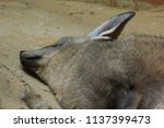 bat eared fox in the zoo is... | Shutterstock . vector #1137399473