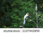 blue jay songbird  perched on... | Shutterstock . vector #1137442850