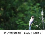 blue jay songbird  perched on... | Shutterstock . vector #1137442853