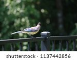 blue jay songbird  perched on... | Shutterstock . vector #1137442856