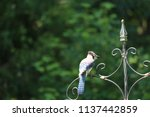 blue jay songbird  perched on... | Shutterstock . vector #1137442859