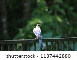 blue jay songbird  perched on... | Shutterstock . vector #1137442880