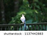 blue jay songbird  perched on... | Shutterstock . vector #1137442883