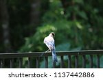 blue jay songbird  perched on... | Shutterstock . vector #1137442886