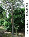 Small photo of The durian tree propagation by engraft.