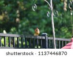 female northern cardinal... | Shutterstock . vector #1137446870