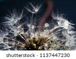 close up photo of dandelion... | Shutterstock . vector #1137447230