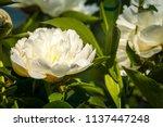 decorative peony flower of... | Shutterstock . vector #1137447248