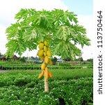 Yellow Papaya On Plant